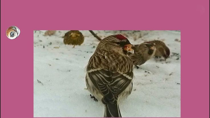 Gråsisik i snø