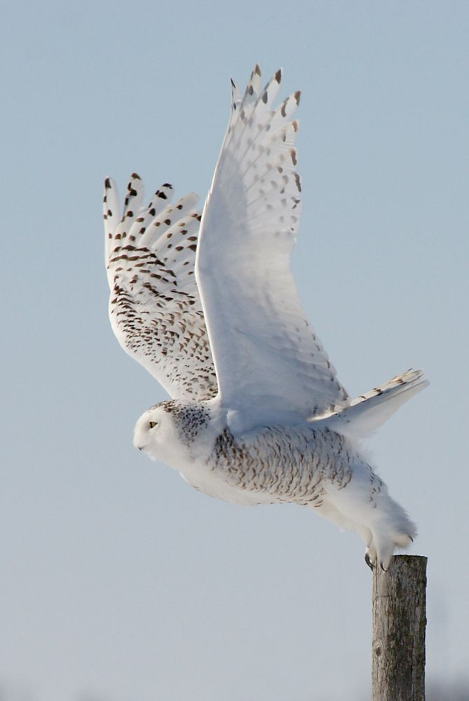 Snowy Owl - Taking off from fencepost.
