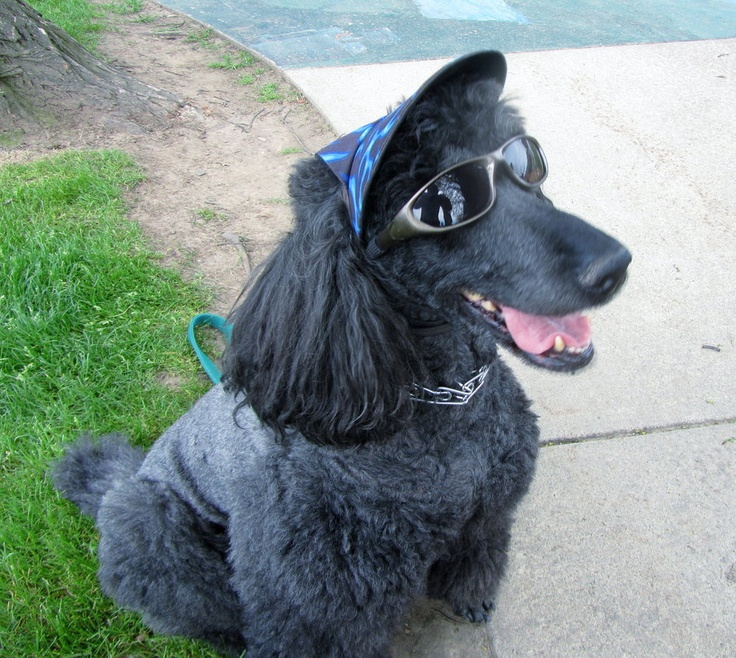 This is the poster dog for cool.Standards Poodles, Luv Poodles, Poodles Photos, Poodles Poodles