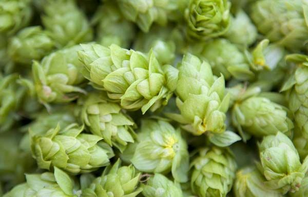 How to Harvest, Prepare and Store Homegrown Hops - American Homebrewers Association