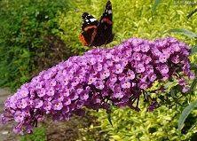 De 25 beste bloemen die hommels, bijen en vlinders aantrekken in je tuin