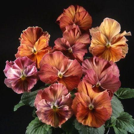 pansy 'Flambe Terracotta Chianti'