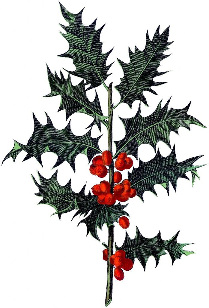 Antique Botanical Holly Image! - The Graphics Fairy