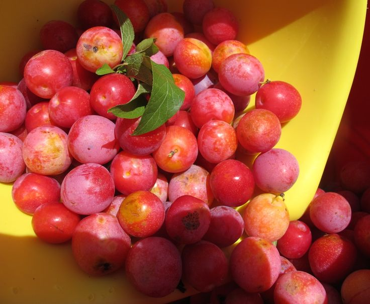 Making Wild Plum Jelly. A Family Tradition. Here's a how too... and the recipe! Enjoy!