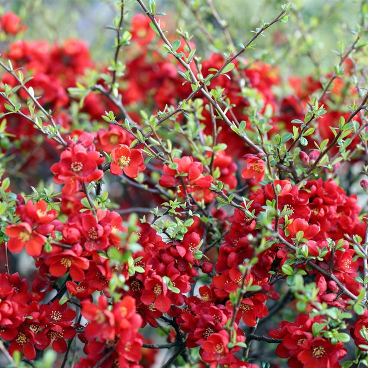 """Chaenomeles japonica 'Sargentii' - ground cover plant but it can be trained up against walls and fences, ht 39"""", spread 78"""".  Spring flowering followed by fruits."""