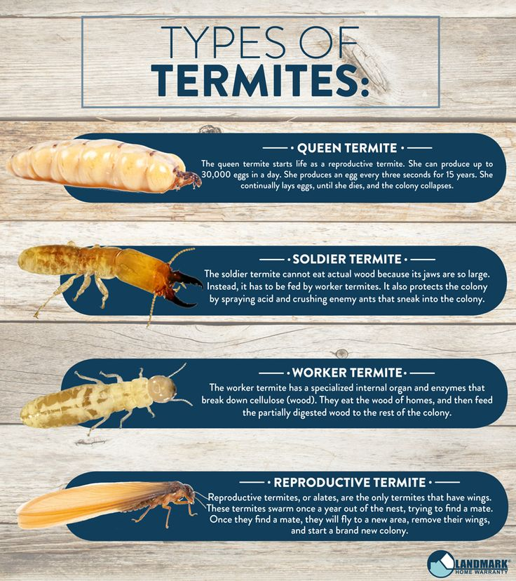 All about termites and how to get rid of an infestation in
