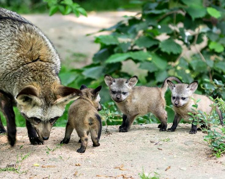 A trio of month-old Bat-eared Fox kits are stealing hearts at Germany's Zoo Krefeld since they emerged from their den in early June 2017.