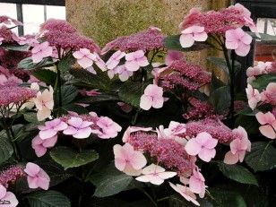 Hydrangea Cheat Sheet  New hydrangea varieties to grow and how to keep yours healthy and thriving.