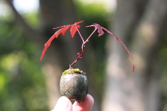 Mini Bonsai!! Japanese Maple