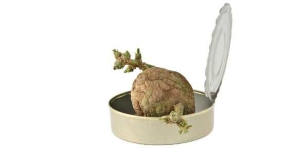 Come coltivare le patate in un bidone della spazzatura