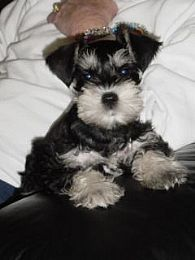 What a doll this adorable little black and silver mini schnauzer has captured my heart