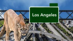 Would You Help This Aggressive Mountain Lion Cross A Freeway?