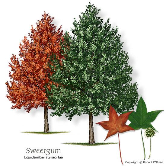 Sweetgum Texas native, reliable fall color, attractive seeds or fruit Features:	Distinctive star-shaped leaves and round, spiky seed balls. Comments: Rapid, upright growth. Fall color ranges from yellow to purple. Problems:	Fruit drop; surface roots. Sensitive to alkaline soils.