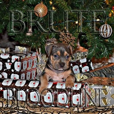 Beautiful brute bloodline tri color bully pitbull puppies for sale   WWW.BRUTEDYNASTYKENNEL.COM XL bully pitbulls, Standard pitbulls, and pocket bullies available