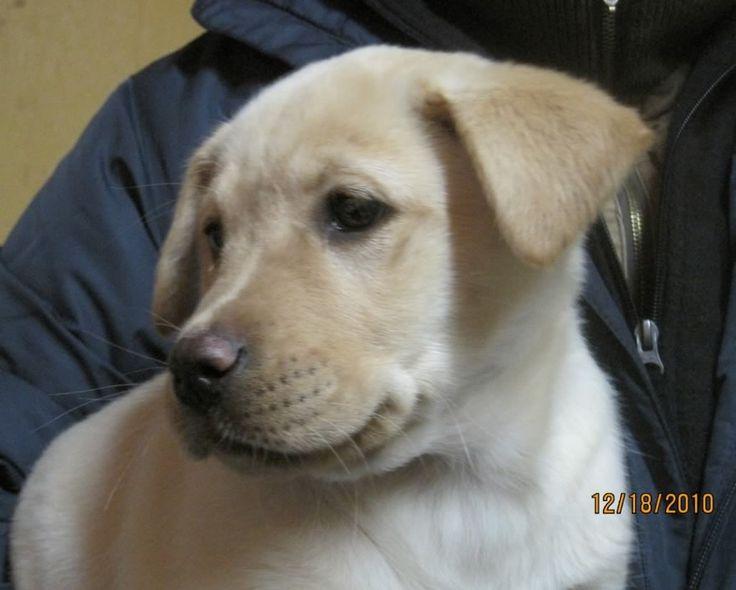 Yellow lab pitbull mix puppy
