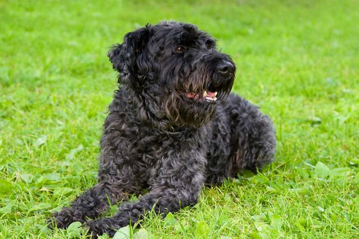 Kerry blue terrier smelly dog terrier terrier dogs