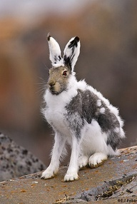 """Arctic hare shedding...talk about a bad """"hare"""" day..lol"""