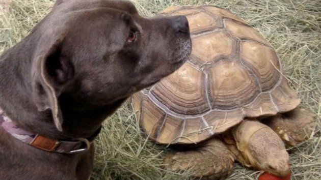 Dog's Best Friend: Tortoise Plays Chase With Pit Bull Terrier (ABC News)