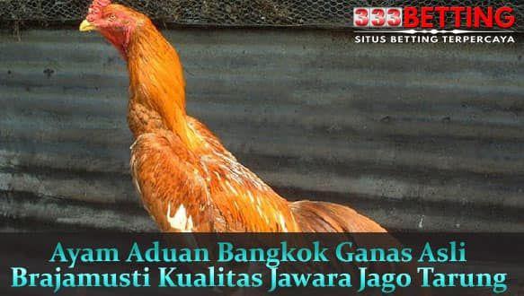 Ayam Bangkok Asli Brajamusti Ayam Bangkok Emas