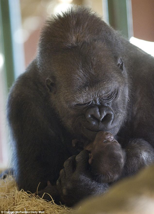 Tender grip: The primate was born four days ago as part of a successful breeding programme | Ozala at Twycross Zoo