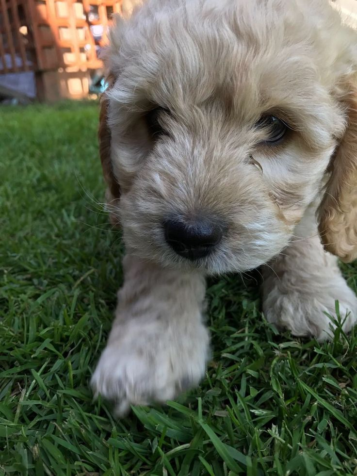Here we have 4 beautiful F1 Cockapoo puppies for sale. They are the 2nd litter from our family pet Bonnie and live in our house with 2 dogs and our yo...