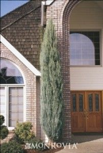17 best images about landscape ideas plants on pinterest for Skinny trees for tight spaces