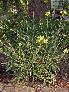 Essbare Wildpflanzen - Zur Übersicht von Magic Garden Seeds - Der Sämereien Versand für alte Sorten und besondere Pflanzen