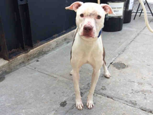 SAFE  mckenzie_a1090483 ***DOH HOLD – B***  NEUTERED MALE, WHITE / BROWN, AM PIT BULL TER MIX, 2 yrs STRAY – EVALUATE, HOLD FOR DOH-B Reason STRAY Intake condition EXAM REQ Intake Date 09/19/2016, From NY 11206, DueOut Date09/30/2016  Medical Behavior Evaluation RED Medical Summary limited handling due to behavior microchip scan positive 985112005926424 neutered male approximately 2 yrs old BARH eyes are clear cat scratches on face and muzzle, minor inflammation 62.6lbs; BCS: 3/5 Weight 62.6