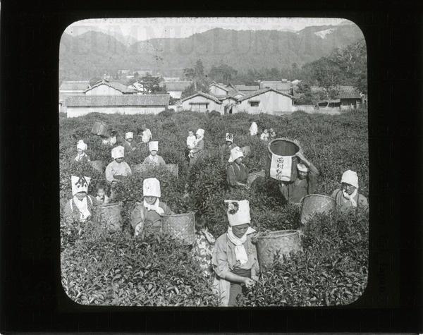 Girls picking tea, Uji, Japan | saskhistoryonline.ca
