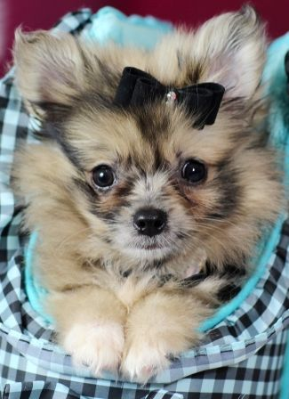 ♥♥♥ Teacup Pomeranians! ♥♥♥ Bring This Perfect Baby Home Today! Call 954-353-7864 www.TeacupPuppies... ♥ ♥ ♥ TeacupPuppiesStore - Teacup Puppies Store Tea Cup Puppies Store - TeacupPuppiesStor... #teacupdogslist #teacupdogs #teacupbreeds #popularTeacups
