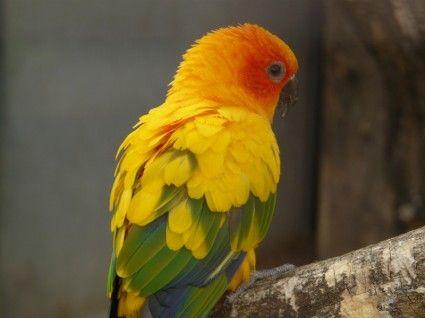 sun parakeet south american parrot