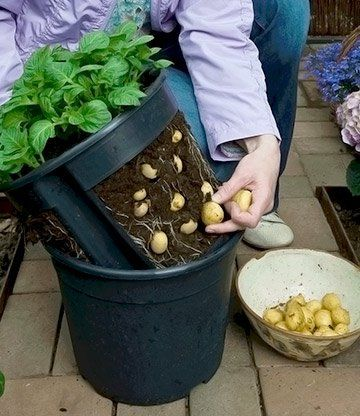 PotatoPot