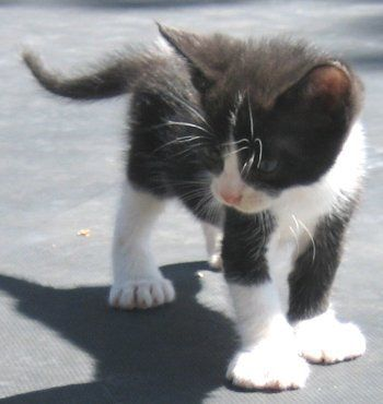 Polydactyl Kitten. Omg I want him!!! I miss having a poly cat. I love their feet!!!