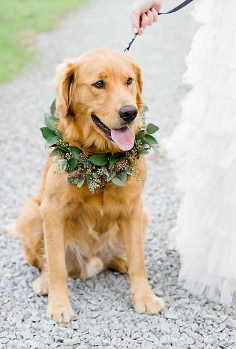 Brides.com: . A simple wreath of bright greenery can be the perfect accent for your four-legged friend. This Golden Retriever dons a mixed arrangement that works well for any wedding season.