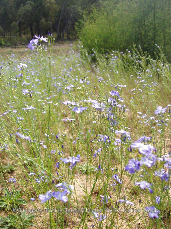 Linum marginale. native flax - Diversity Native Seeds