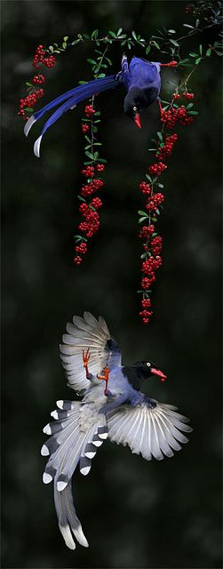 Taiwan Blue Magpie, taken at Waishuanghsi, Taipei City, TAIWAN  #818 藍鵲戲紅 by John, via Flickr