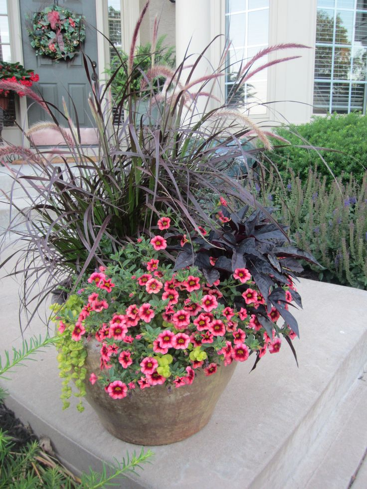 14 best images about purple fountain grass on pinterest for Ornamental grasses for planters