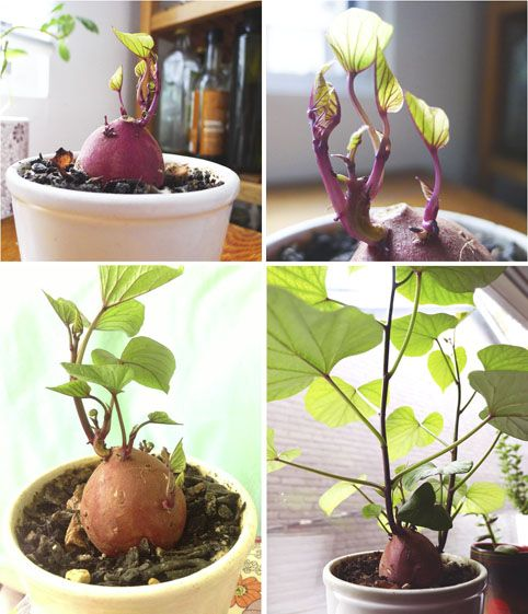 """I came across this diagram in one of my old houseplantbooks: """"Sweet-potato placed in a pickle jar soon makes an attractive house vine"""", it read.Seeming easy enough, I gave it a try with a few mod..."""