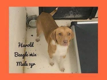 Meet Harold, an adoptable Beagle looking for a forever home. If you're looking for a new pet to adopt or want information on how to get involved with adoptable pets, Petfinder.com is a great resource.