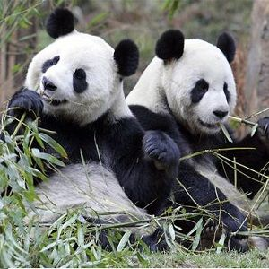 the characteristics of giant pandas an endangered species Giant pandas no longer 'endangered'  it is also a very peculiar species, with many unique and remarkable characteristics.
