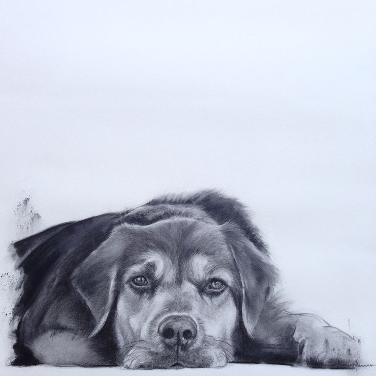 'Bear' Commission by Charles Hannah. Charcoal on Paper. Pet Portrait. Www.charleshannah.com