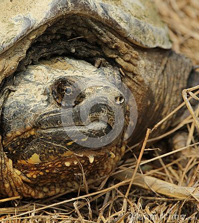 Best 25+ Snapping turtle ideas on Pinterest
