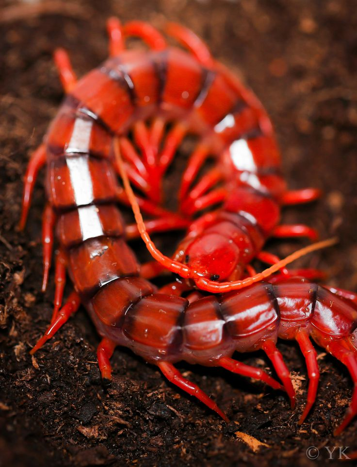 "˚Scolopendra dehaani ""Cherry Red"""