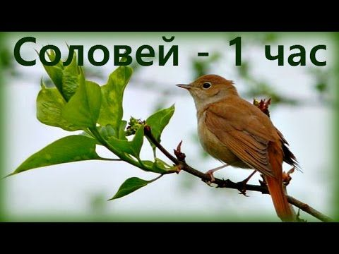 1 Hr -  Соловьи поют / Nightingales singinig