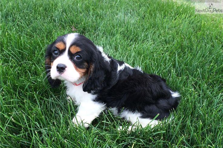 Cavalier King Charles Spaniel puppy for sale near Akron