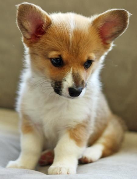 Welsh Corgi Puppy. If you had ears like that, you would get whatever you wanted too!!