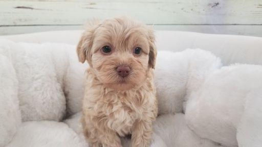Maltipoo puppy for sale in LA MIRADA, CA. ADN-66521 on PuppyFinder.com Gender: Female. Age: 7 Weeks Old