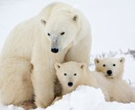 "Secretary Jewell- Protect Polar Bear Habitat ~~ Read Isaiah 45:18; Psalm 37:10,11,29,34, Isaiah 65:17, 21-25, Rev. 21:3-5. We are living in ""the last days"" of a man-made mess. God is about to step in. More info (free) at jw.org"