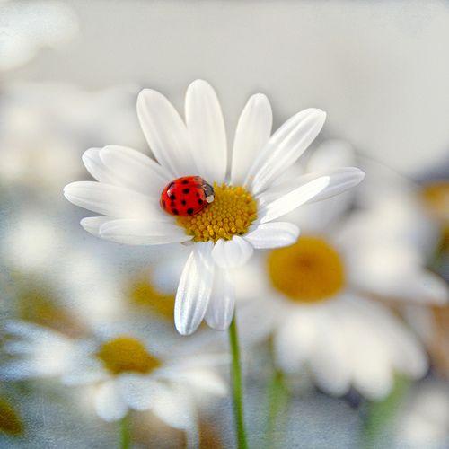 ^White daisies and ladybug