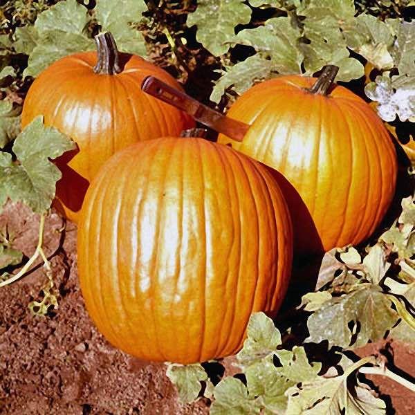 17 best images about pumpkins on pinterest grow pumpkins for Best pumpkins to grow